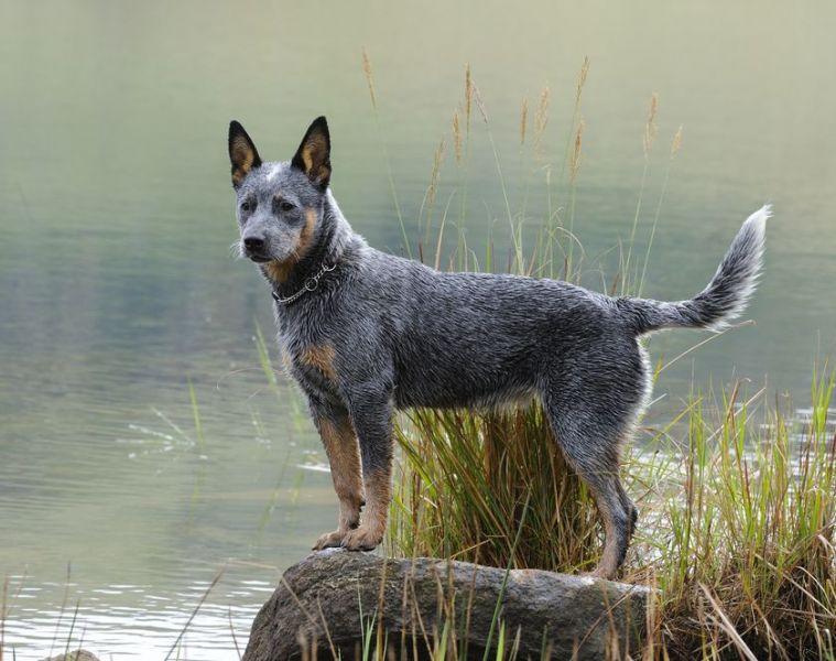 36 Smartest Dogs