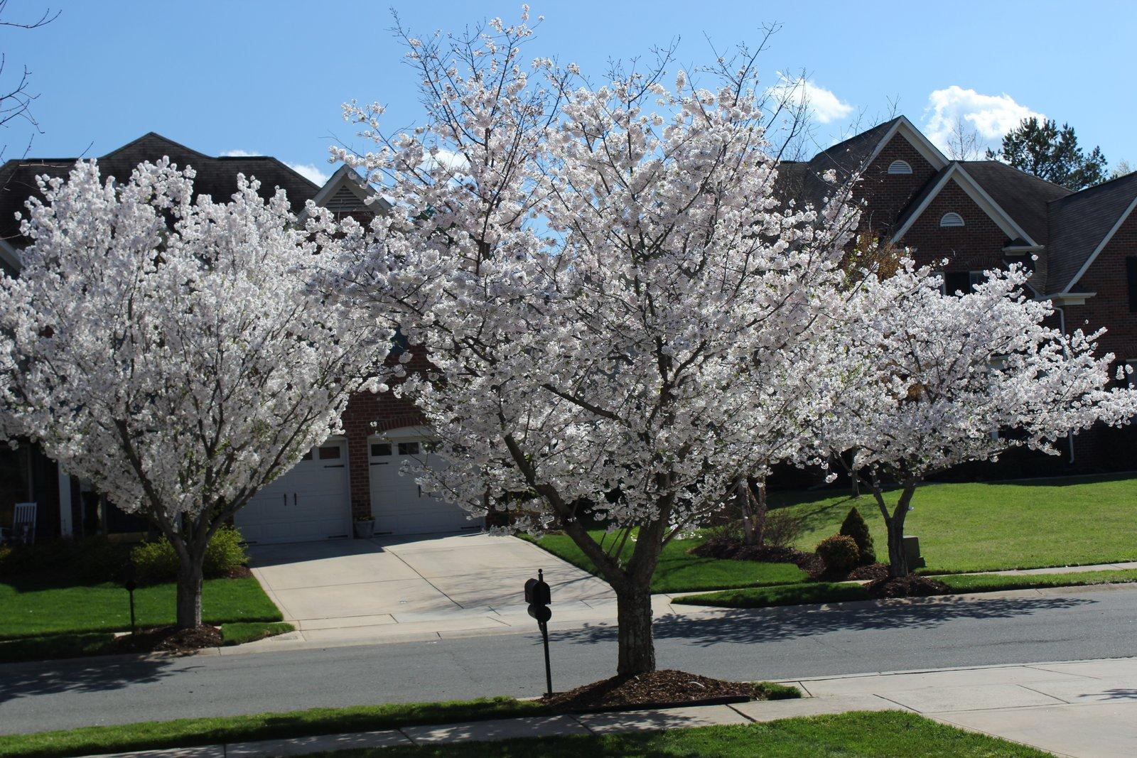 Cherry Trees line Weatherstone streets