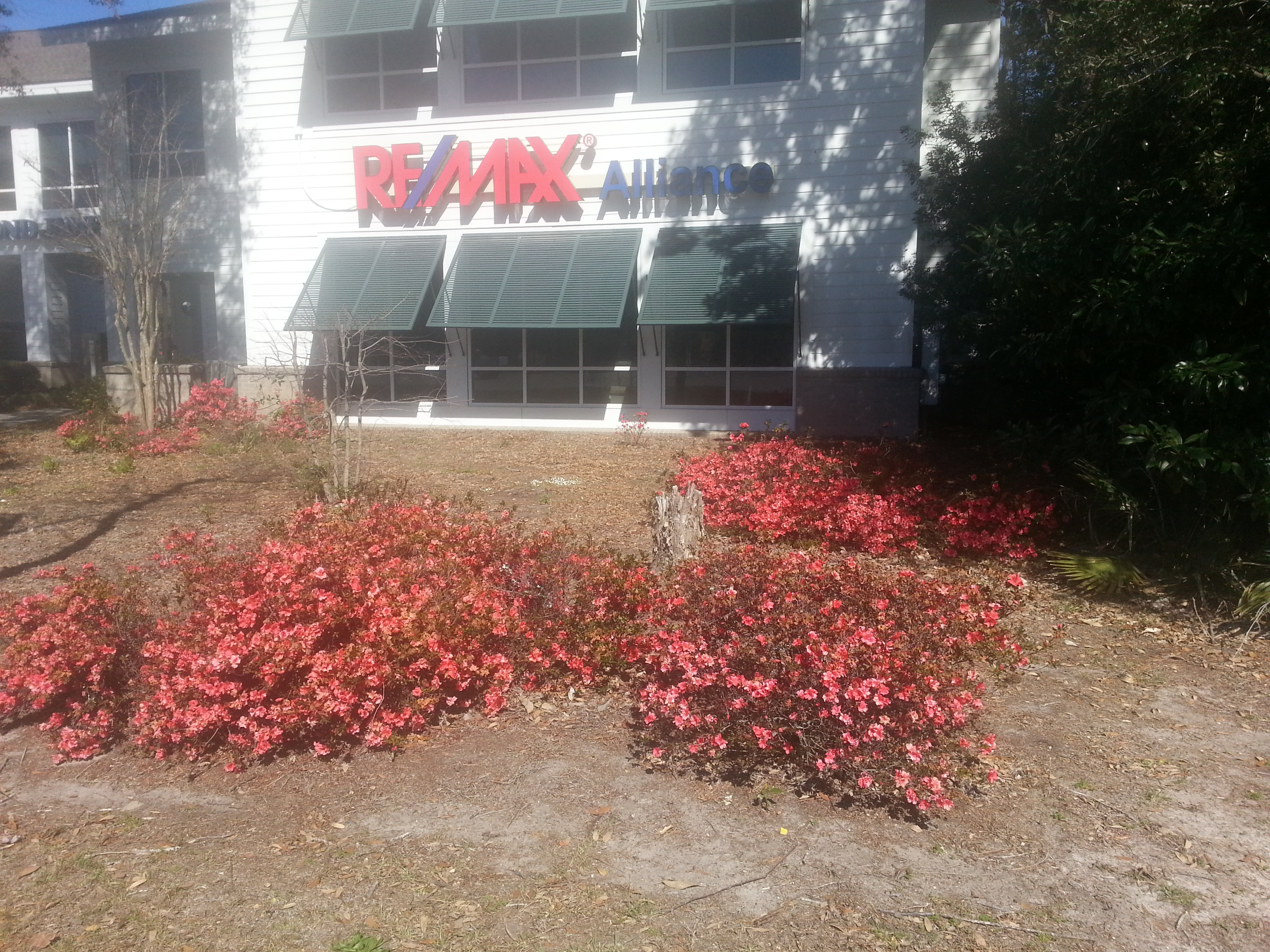Azaleas Blooming In February