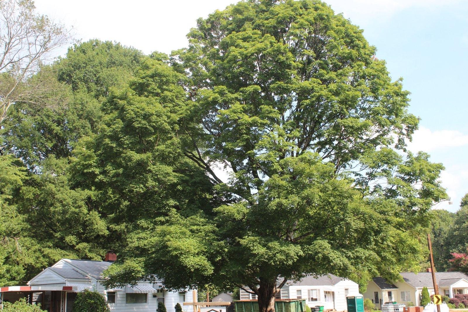 Tree canopy in Sedgefield