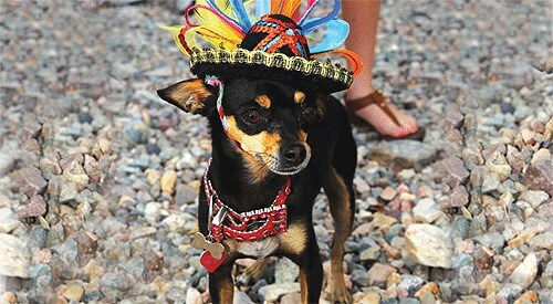 Image title10th Yearly Cinco de Mayo Chihuahua Races & Social Event