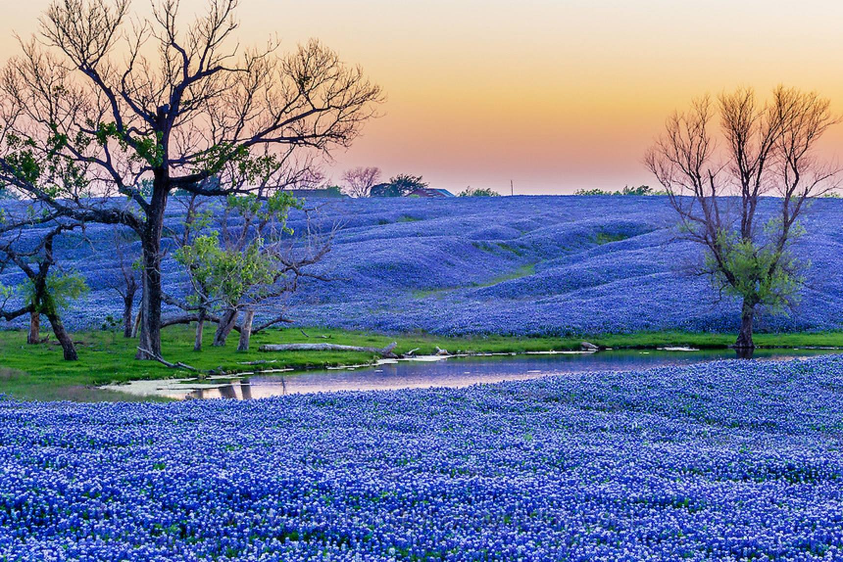Ennis Bluebonnet Paradise - Lisa Birdsong (Image courtesy of Texas Wildflower Project)