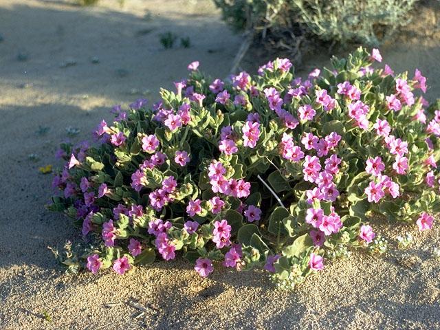 Four O'Clock - Mirabilis multiflora