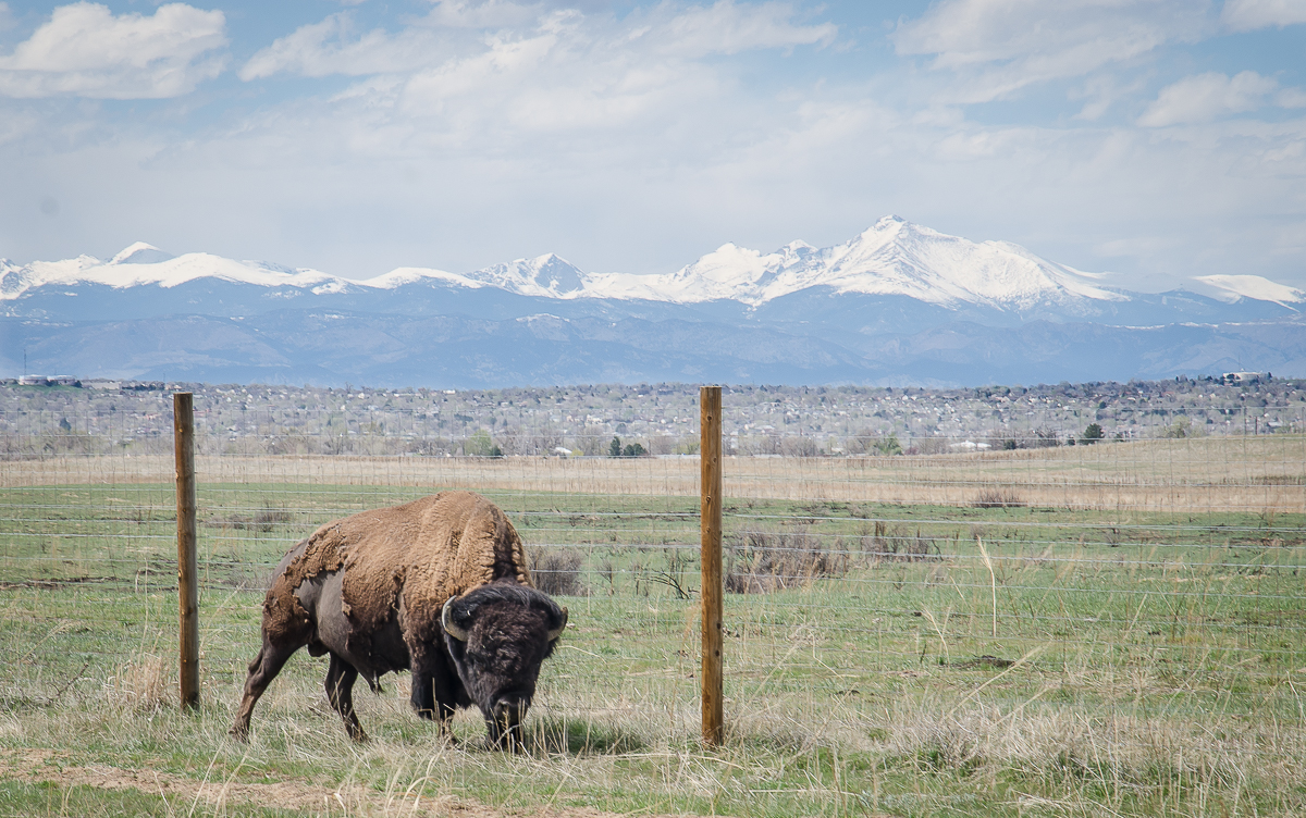 Bison at Rocky Mountain Arsenal National Wildlife Refuge in Commerce City (Near Denver)