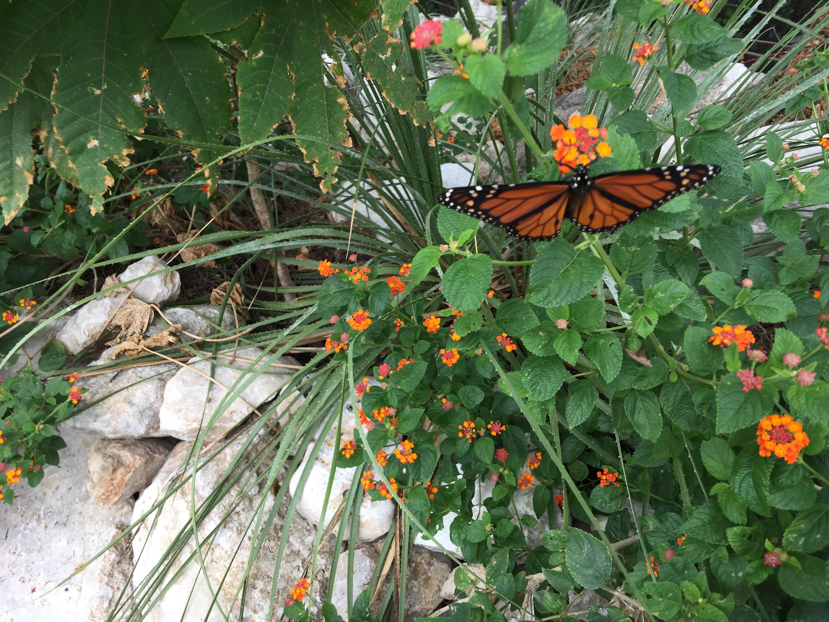 Monarch Butterfly on Lantana bush