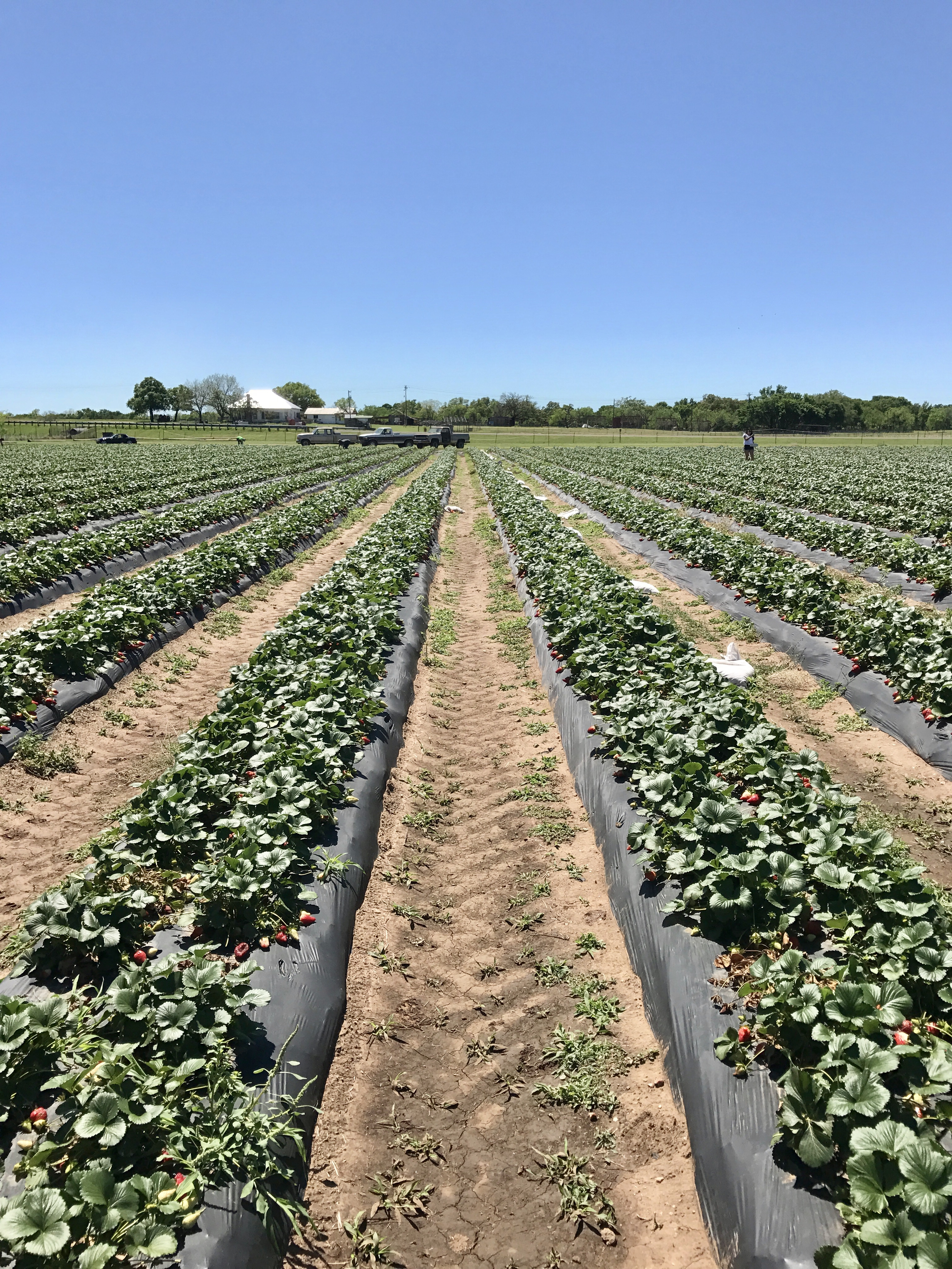 In the strawberry field