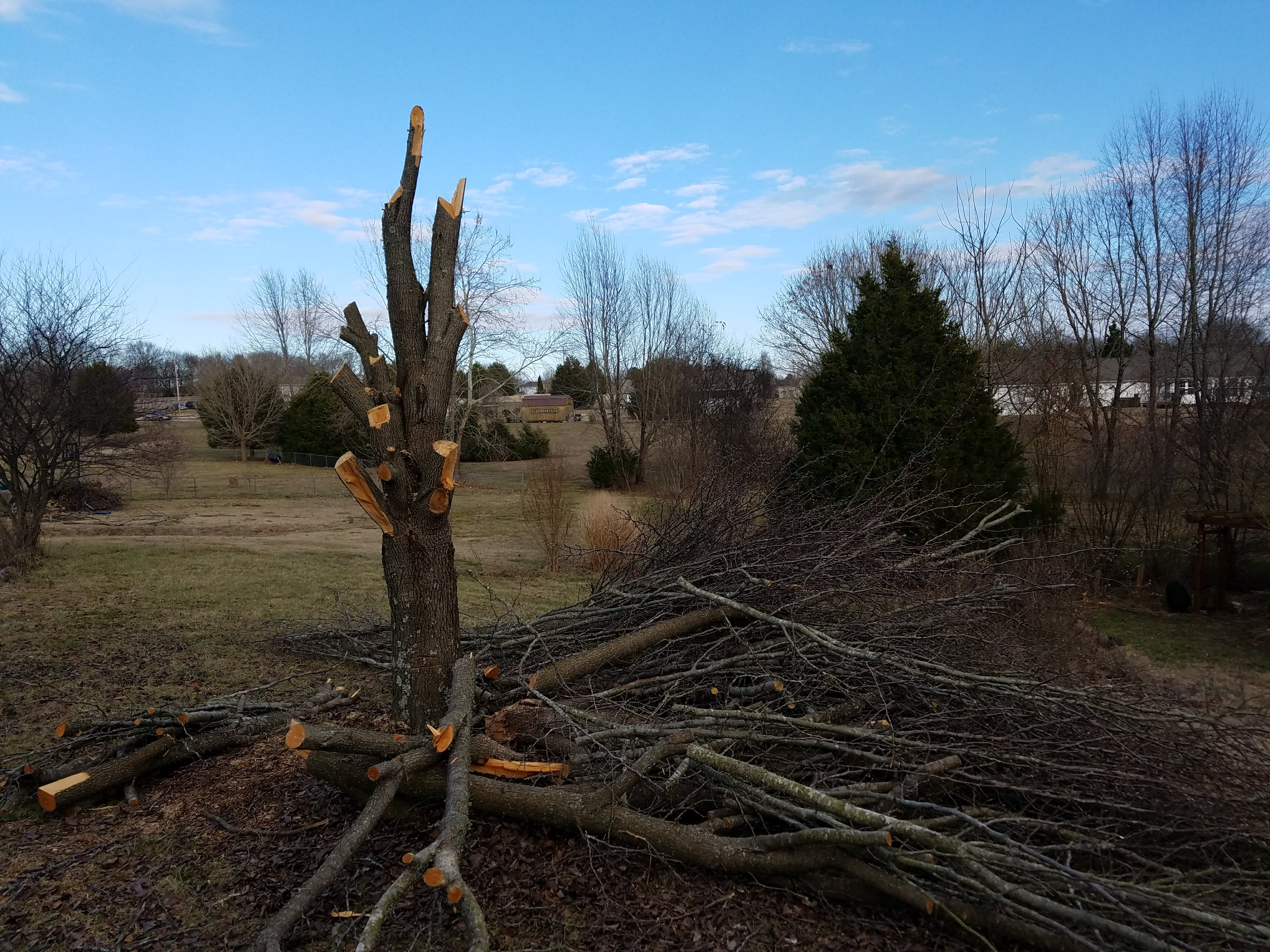 My Bradford Pear tree in the process of being removed.