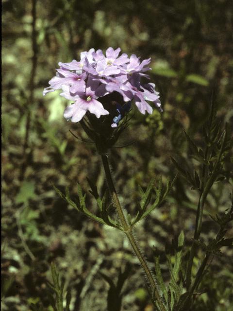 Goodding Verbena - Glandularia gooddingii