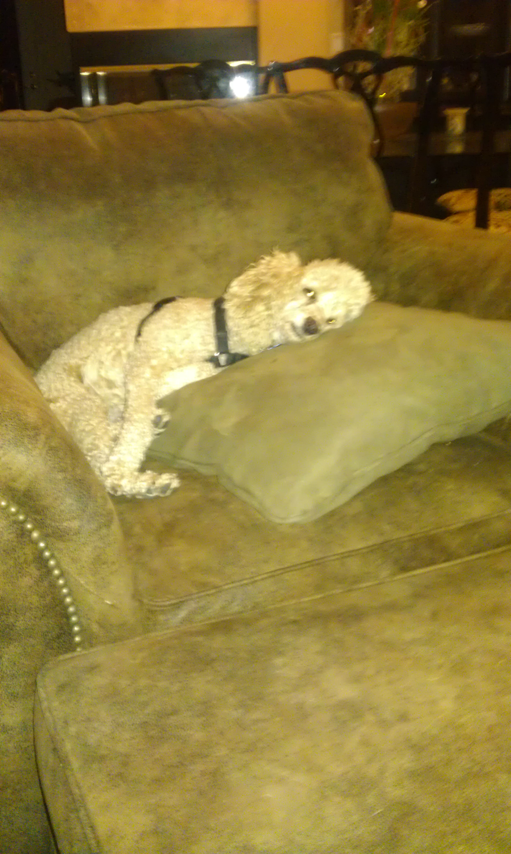 My miniature poodle Tanner
