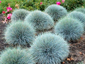 5 colorado friendly plants to add to your yard for Low mounding ornamental grasses