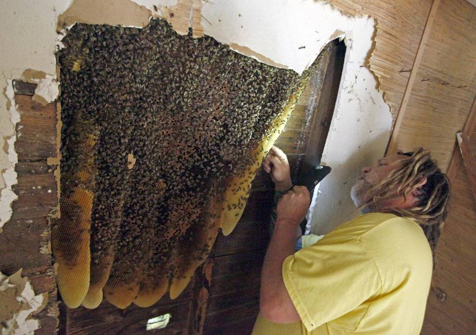 "Austin's ""Bee-Czar"" removing a beehive from within a wall"