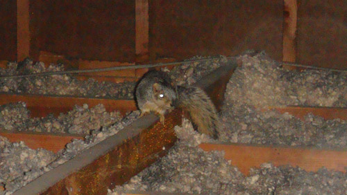 There Is A Squirrel In The Attic
